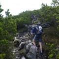 cacatus Pinus