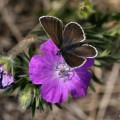 irgendein Schmetterling