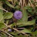 Kugelblume - Globularia