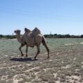 noch ein Kamel