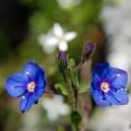 Tommis Blumen