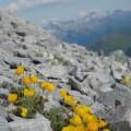 Gelber Alpenmohn bedeutet...