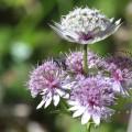 scho wieda Blumelen