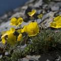 gelber Alpenmohn