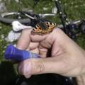 auch ein Schmetterling hat Durst